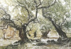 Herrmann - Olivenbaum